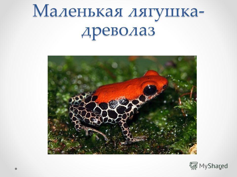 Маленькая лягушка- древолаз