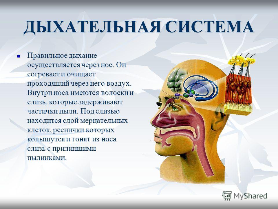 ДЫХАТЕЛЬНАЯ СИСТЕМА Правильное дыхание осуществляется через нос. Он согревает и очищает проходящий через него воздух. Внутри носа имеются волоски и слизь, которые задерживают частички пыли. Под слизью находится слой мерцательных клеток, реснички кото