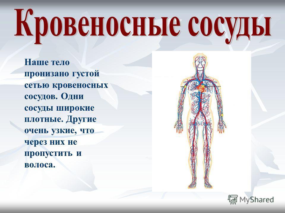Наше тело пронизано густой сетью кровеносных сосудов. Одни сосуды широкие плотные. Другие очень узкие, что через них не пропустить и волоса.