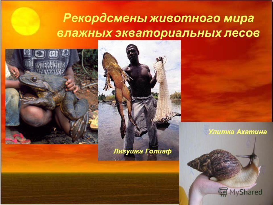 Рекордсмены животного мира влажных экваториальных лесов Лягушка Голиаф Улитка Ахатина