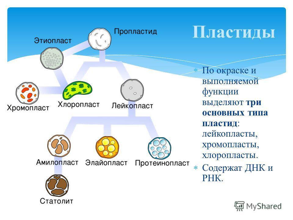 По окраске и выполняемой функции выделяют три основных типа пластид: лейкопласты, хромопласты, хлоропласты. Содержат ДНК и РНК. Пластиды