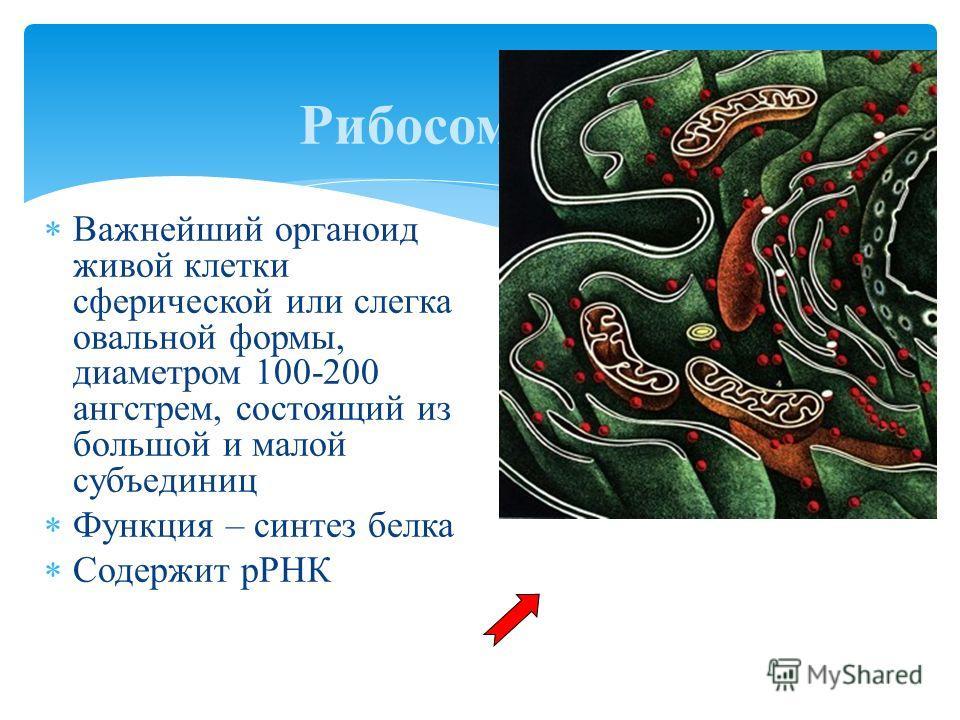 Важнейший органоид живой клетки сферической или слегка овальной формы, диаметром 100-200 ангстрем, состоящий из большой и малой субъединиц Функция – синтез белка Содержит рРНК Рибосома