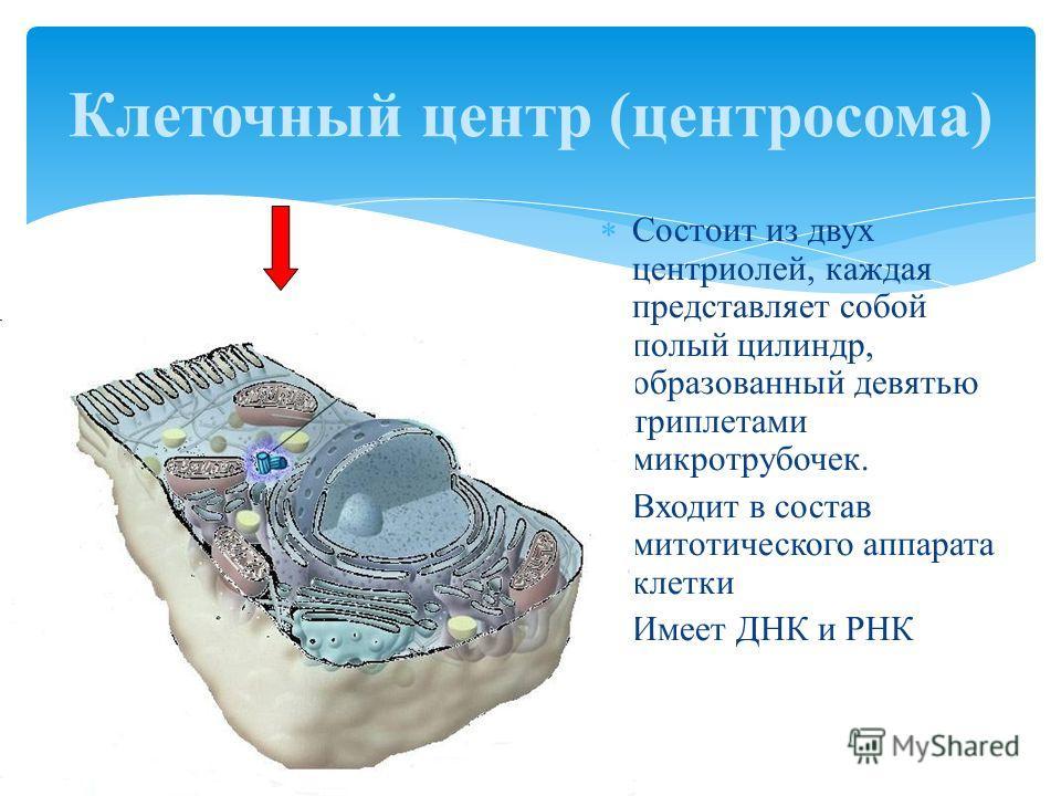 Состоит из двух центриолей, каждая представляет собой полый цилиндр, образованный девятью триплетами микротрубочек. Входит в состав митотического аппарата клетки Имеет ДНК и РНК Клеточный центр (центросома)