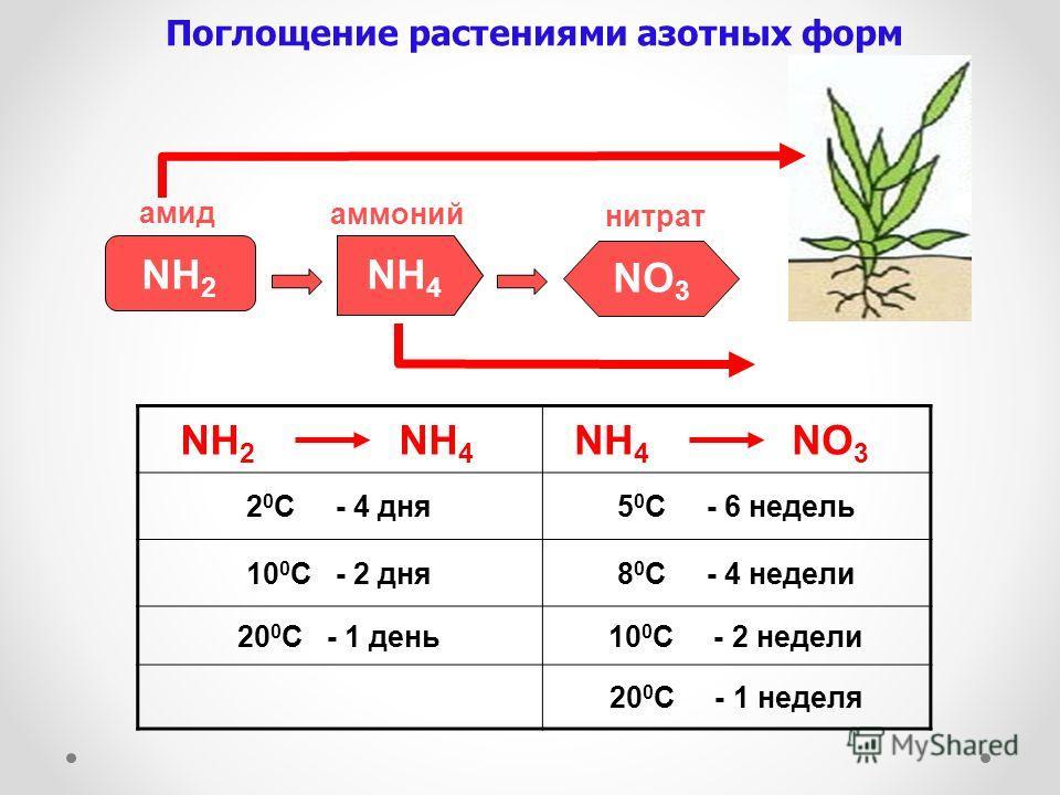 NH 2 NH 4 NH 4 NO 3 2 0 C - 4 дня5 0 C - 6 недель 10 0 C - 2 дня8 0 C - 4 недели 20 0 C - 1 день10 0 C - 2 недели 20 0 C - 1 неделя Поглощение растениями азотных форм NH 2 амид NH 4 аммоний NO 3 нитрат