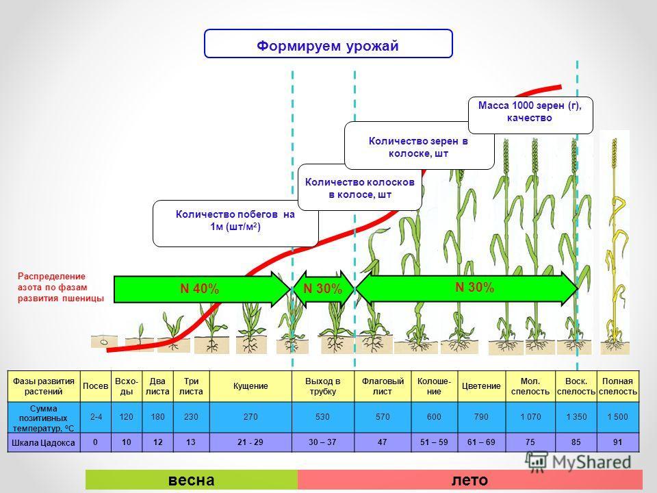 Распределение азота по фазам развития пшеницы N 40% N 30% Формируем урожай Количество побегов на 1м (шт/м 2 ) Количество колосков в колосе, шт Количество зерен в колоске, шт Масса 1000 зерен (г), качество Фазы развития растений Посев Всхо- ды Два лис