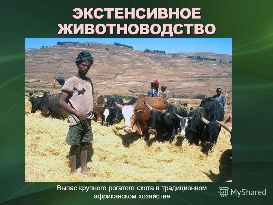ЭКСТЕНСИВНОЕ ЖИВОТНОВОДСТВО Выпас крупного рогатого скота в традиционном африканском хозяйстве