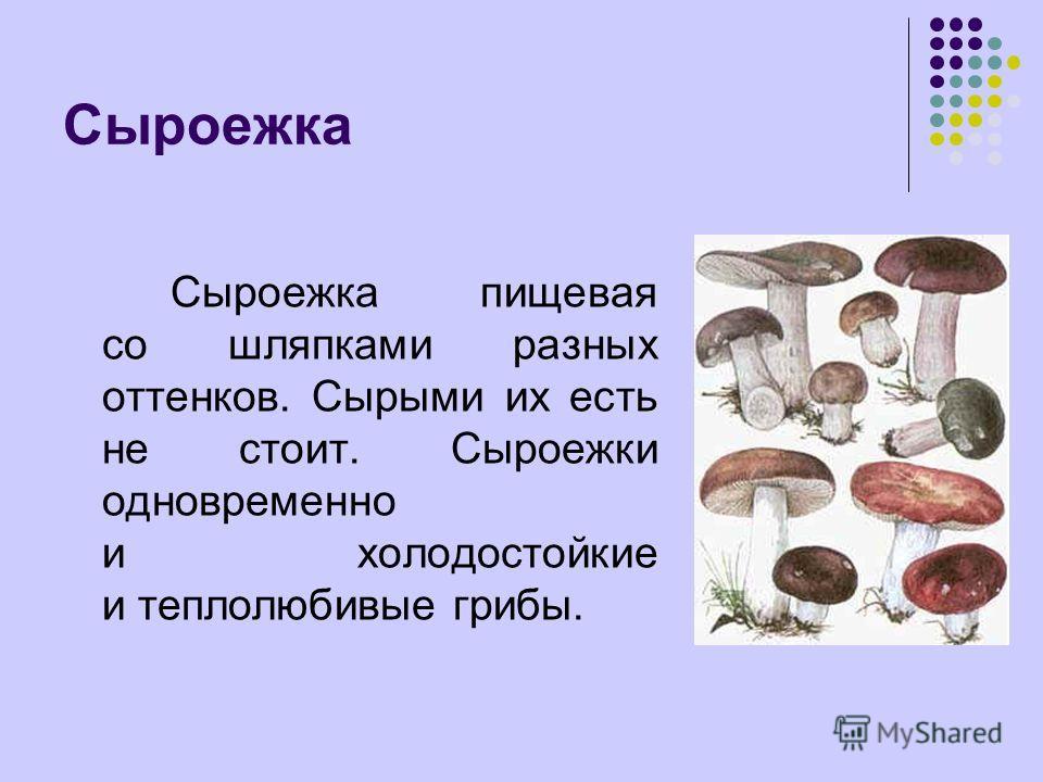 Сыроежка Сыроежка пищевая со шляпками разных оттенков. Сырыми их есть не стоит. Сыроежки одновременно и холодостойкие и теплолюбивые грибы.