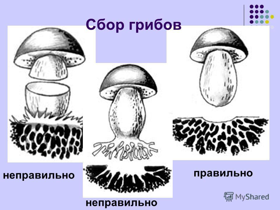 неправильно правильно неправильно Сбор грибов