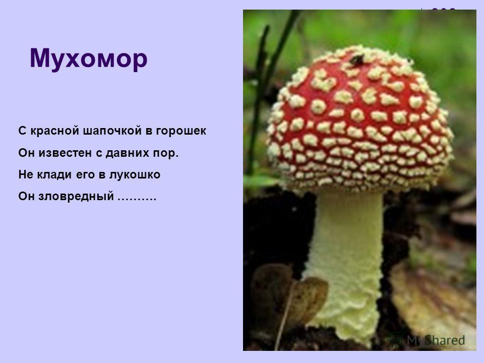 Мухомор С красной шапочкой в горошек Он известен с давних пор. Не клади его в лукошко Он зловредный ……….