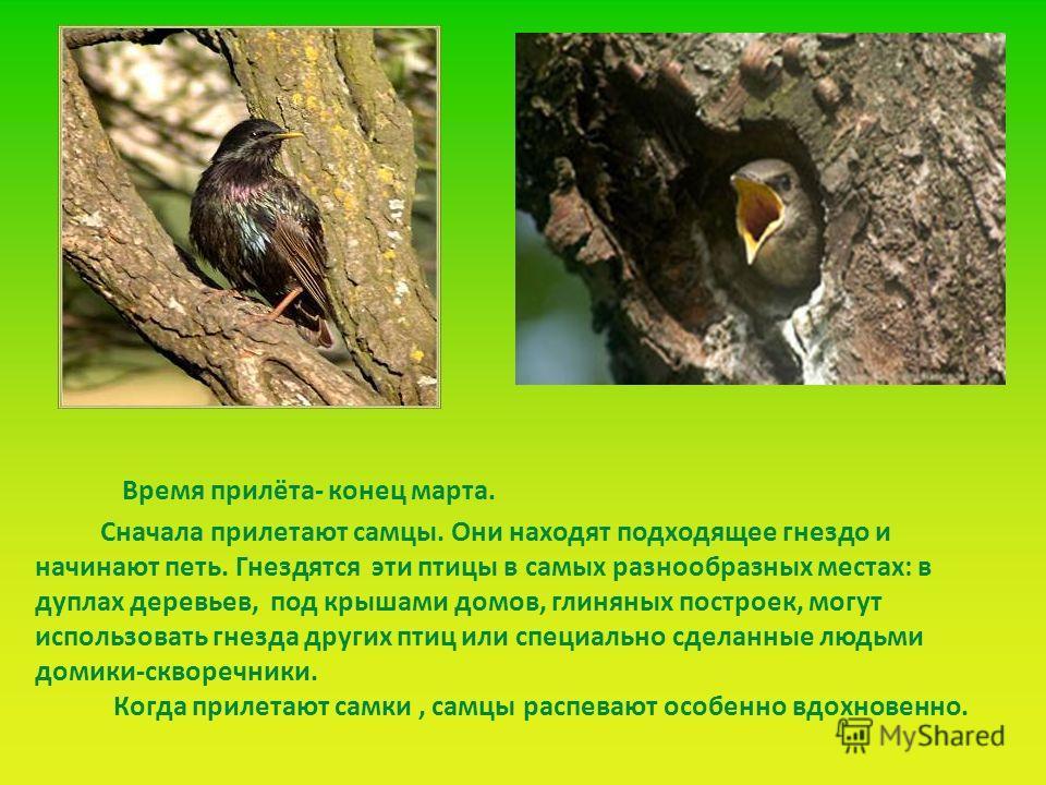 Сначала прилетают самцы. Они находят подходящее гнездо и начинают петь. Гнездятся эти птицы в самых разнообразных местах: в дуплах деревьев, под крышами домов, глиняных построек, могут использовать гнезда других птиц или специально сделанные людьми д