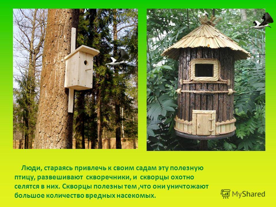 Люди, стараясь привлечь к своим садам эту полезную птицу, развешивают скворечники, и скворцы охотно селятся в них. Скворцы полезны тем,что они уничтожают большое количество вредных насекомых.