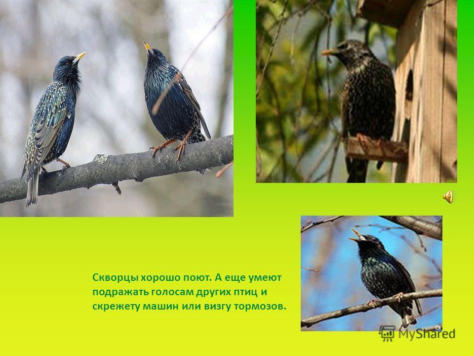 . Скворцы хорошо поют. А еще умеют подражать голосам других птиц и скрежету машин или визгу тормозов.
