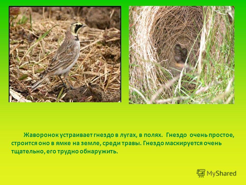 Жаворонок устраивает гнездо в лугах, в полях. Гнездо очень простое, строится оно в ямке на земле, среди травы. Гнездо маскируется очень тщательно, его трудно обнаружить.