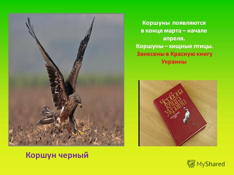 . Коршуны появляются в конце марта – начале апреля. Коршуны – хищные птицы. Занесены в Красную книгу Украины Коршун черный