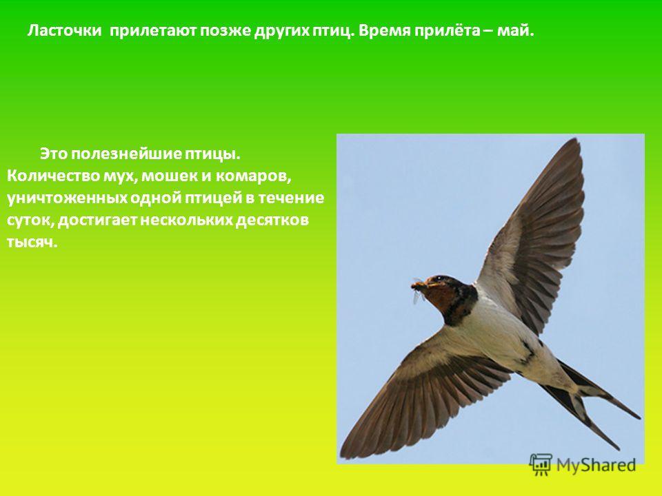 Ласточки прилетают позже других птиц. Время прилёта – май. Это полезнейшие птицы. Количество мух, мошек и комаров, уничтоженных одной птицей в течение суток, достигает нескольких десятков тысяч.