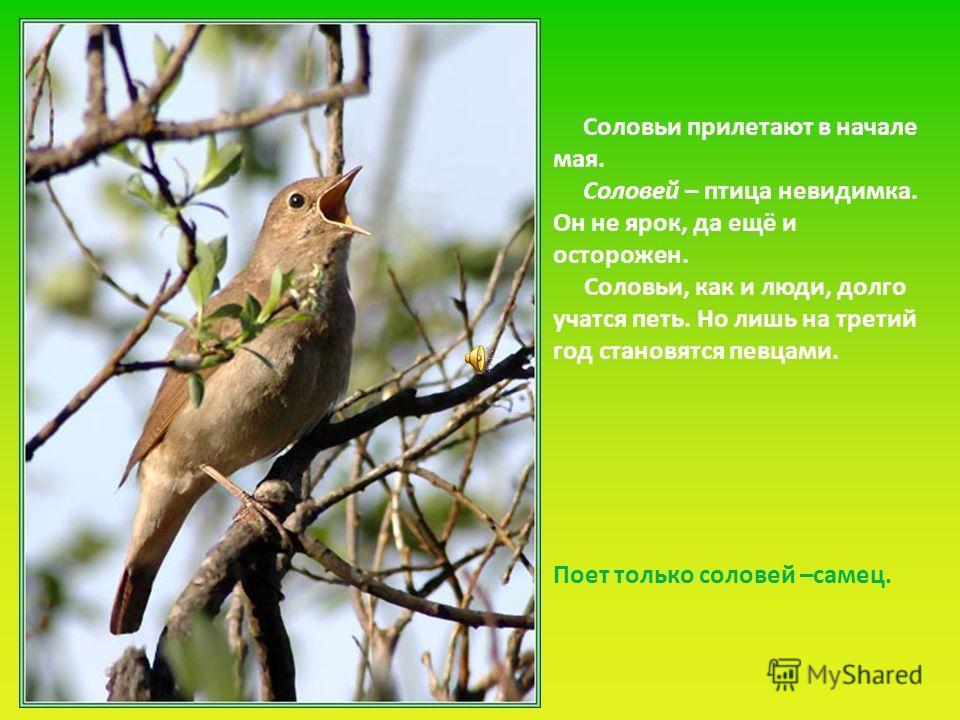 Соловьи прилетают в начале мая. Соловей – птица невидимка. Он не ярок, да ещё и осторожен. Соловьи, как и люди, долго учатся петь. Но лишь на третий год становятся певцами. Поет только соловей –самец.