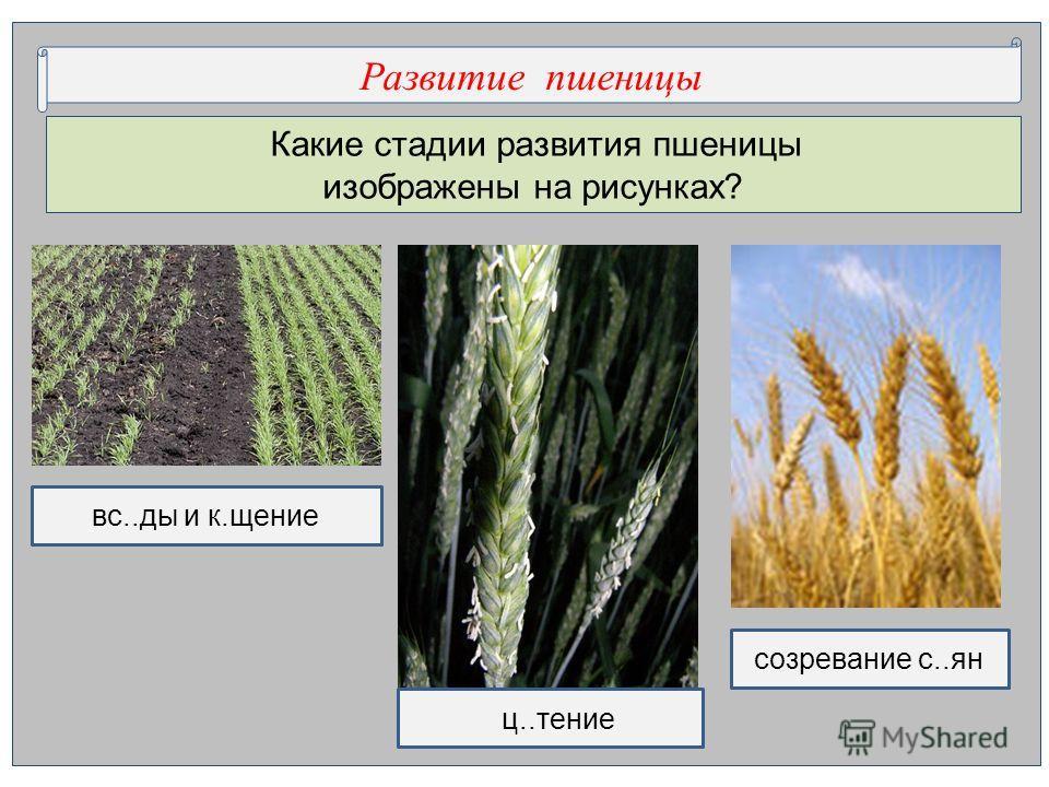 Какие стадии развития пшеницы изображены на рисунках? Развитие пшеницы вс..ды и к.щение ц..тение созревание с..ян