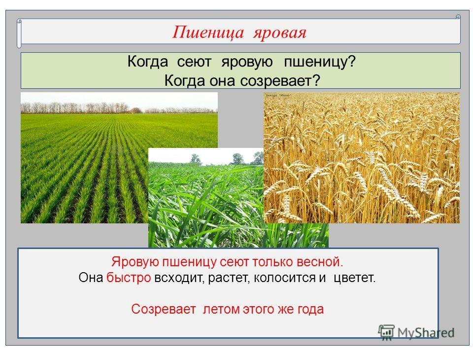 Когда сеют яровую пшеницу? Когда она созревает? Пшеница яровая Яровую пшеницу сеют только весной. Она быстро всходит, растет, колосится и цветет. Созревает летом этого же года