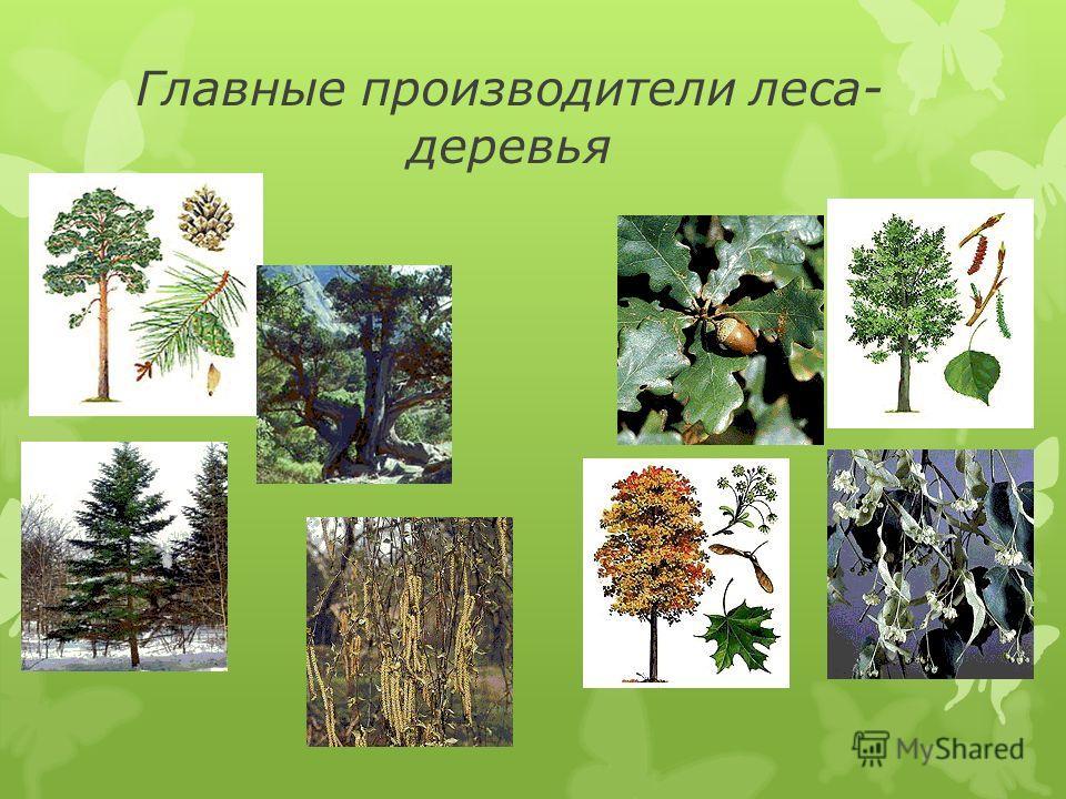 Леса деревья слайд 15 слайд