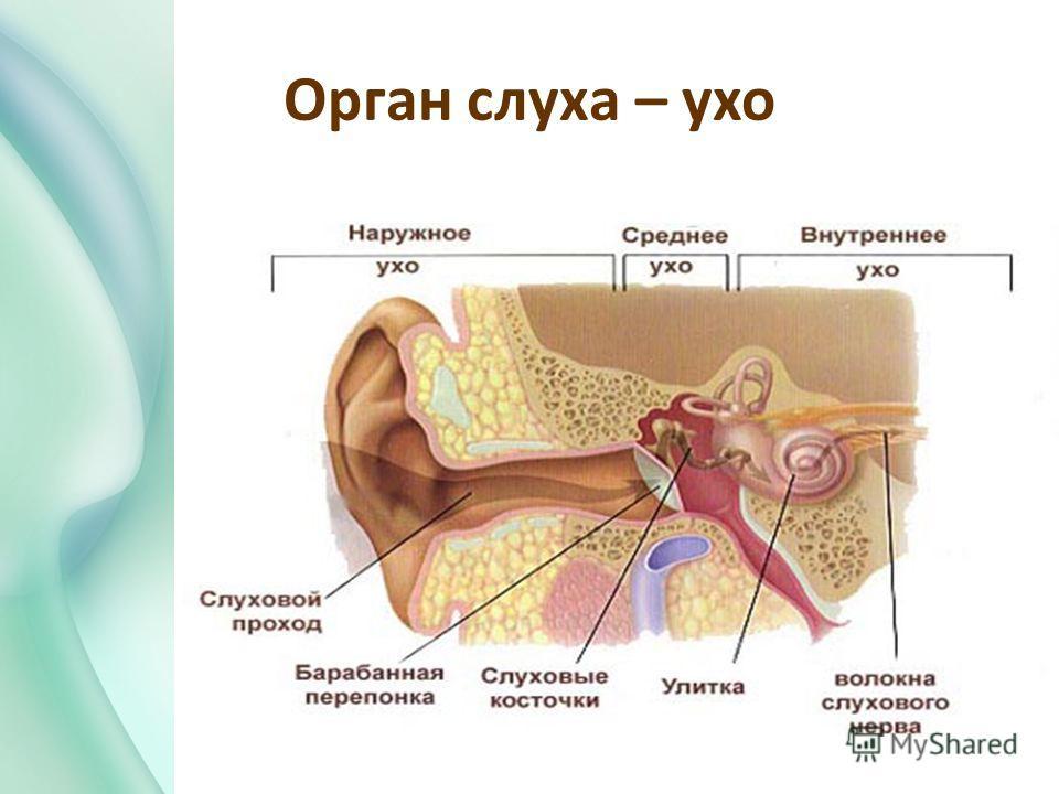 Орган слуха – ухо