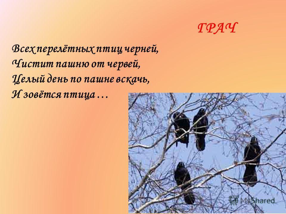 Всех перелётных птиц черней, Чистит пашню от червей, Целый день по пашне вскачь, И зовётся птица … ГРАЧ
