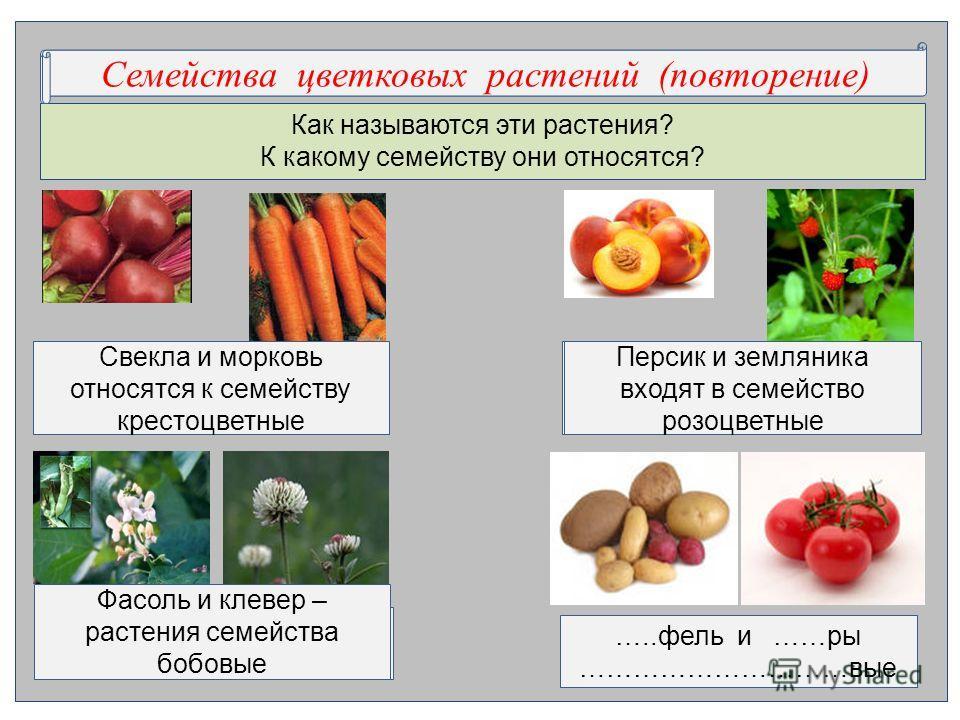 Как называются эти растения? К какому семейству они относятся? С….ства ц…ковых р….ний (повторение)Семейства цветковых растений (повторение) Свекла и морковь относятся к семейству крестоцветные …..фель и ……ры …………………………вые ….ик и …..ника в..дят в семе