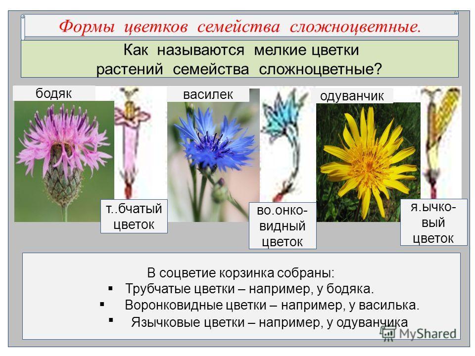 Как называются мелкие цветки растений семейства сложноцветные? В соцветие корзинка собраны: Трубчатые цветки – например, у бодяка. …..ковидные цветки – например, у ….лька. …..овые цветки – например, у …..нчика. Формы цветков семейства сложноцветные.