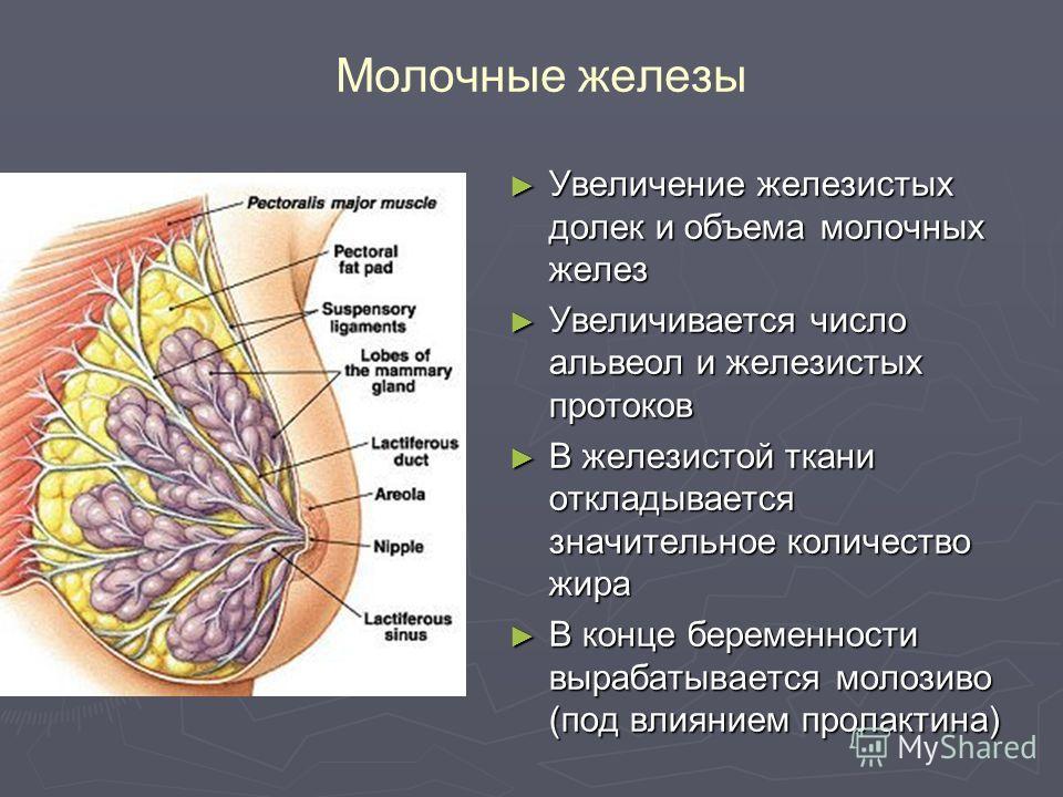 Молочные железы Увеличение железистых долек и объема молочных желез Увеличение железистых долек и объема молочных желез Увеличивается число альвеол и железистых протоков Увеличивается число альвеол и железистых протоков В железистой ткани откладывает