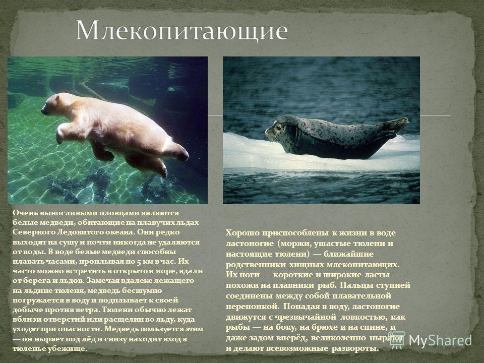 Очень выносливыми пловцами являются белые медведи, обитающие на плавучих льдах Северного Ледовитого океана. Они редко выходят на сушу и почти никогда не удаляются от воды. В воде белые медведи способны плавать часами, проплывая по 5 км в час. Их част