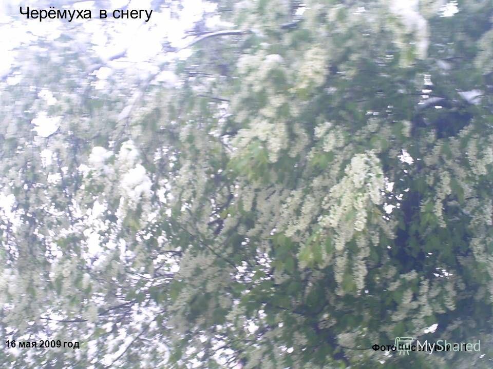 16 мая 2009 год Черёмуха в снегу