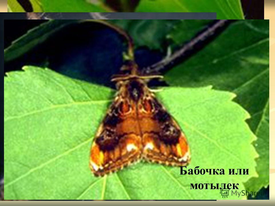 Кокон Гусеница Бабочка или мотылек