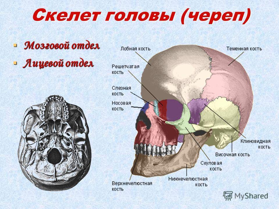 Скелет головы (череп) Мозговой отдел Мозговой отдел Лицевой отдел Лицевой отдел