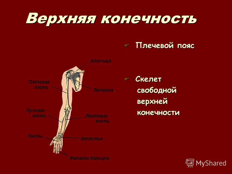Верхняя конечность Плечевой пояс Плечевой пояс Скелет Скелет свободной свободной верхней верхней конечности конечности