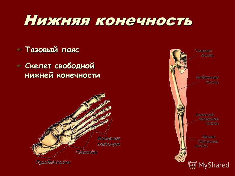 Нижняя конечность Тазовый пояс Тазовый пояс Скелет свободной нижней конечности Скелет свободной нижней конечности