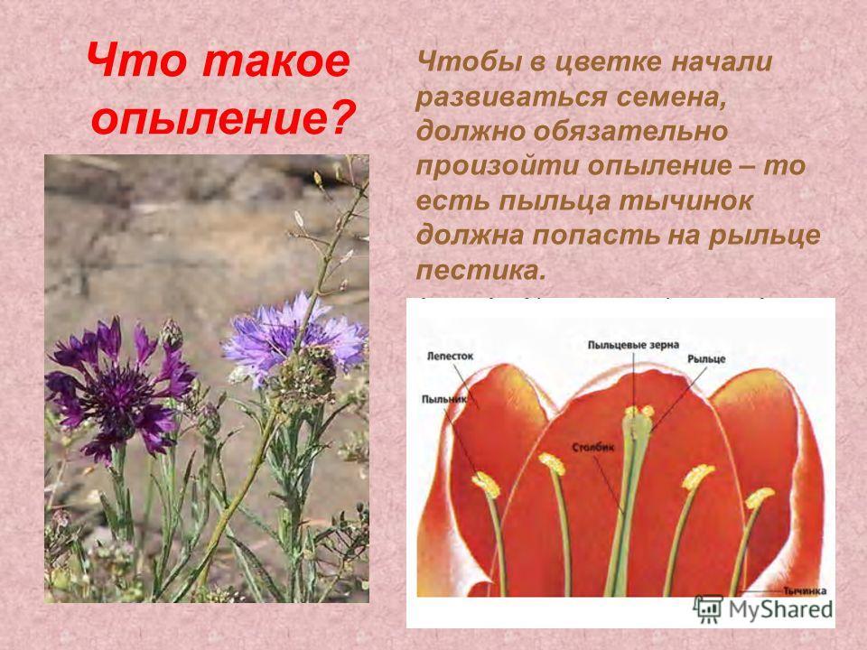 Что такое опыление? Чтобы в цветке начали развиваться семена, должно обязательно произойти опыление – то есть пыльца тычинок должна попасть на рыльце пестика.