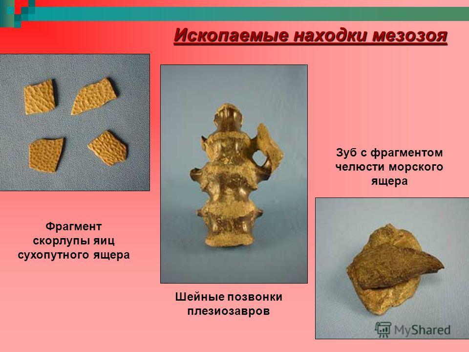 Фрагмент скорлупы яиц сухопутного ящера Зуб с фрагментом челюсти морского ящера Шейные позвонки плезиозавров Ископаемые находки мезозоя