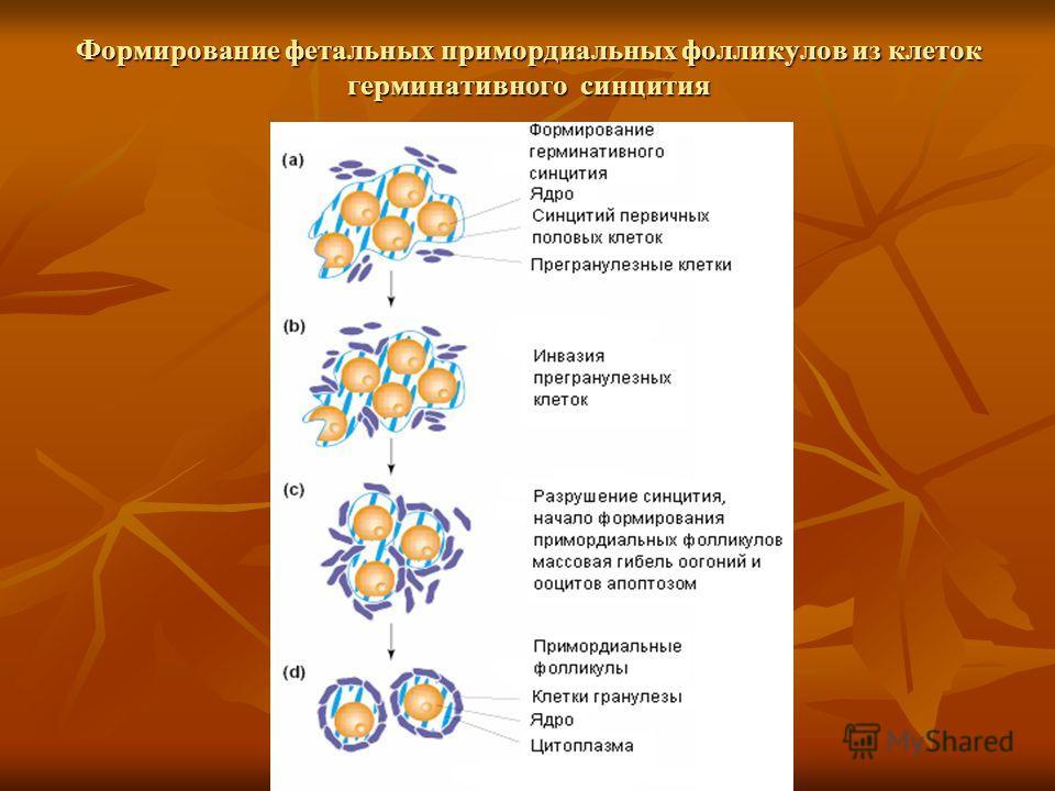 Формирование фетальных примордиальных фолликулов из клеток герминативного синцития