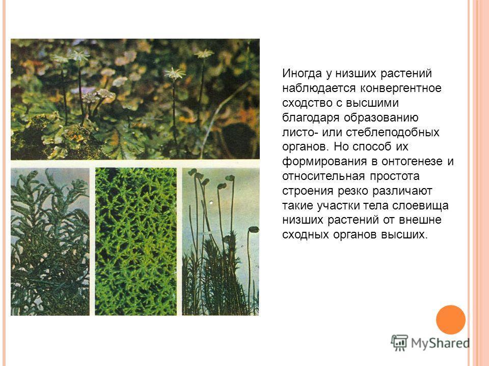 Иногда у низших растений наблюдается конвергентное сходство с высшими благодаря образованию листо- или стеблеподобных органов. Но способ их формирования в онтогенезе и относительная простота строения резко различают такие участки тела слоевища низших