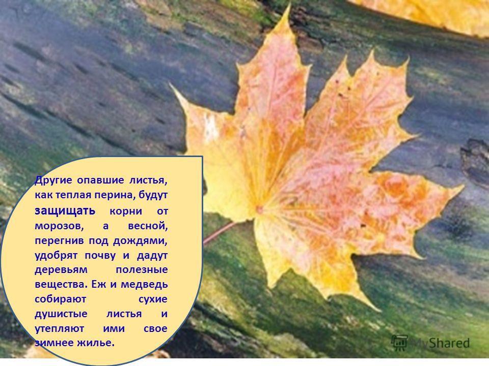 Другие опавшие листья, как теплая перина, будут защищать корни от морозов, а весной, перегнив под дождями, удобрят почву и дадут деревьям полезные вещества. Еж и медведь собирают сухие душистые листья и утепляют ими свое зимнее жилье.