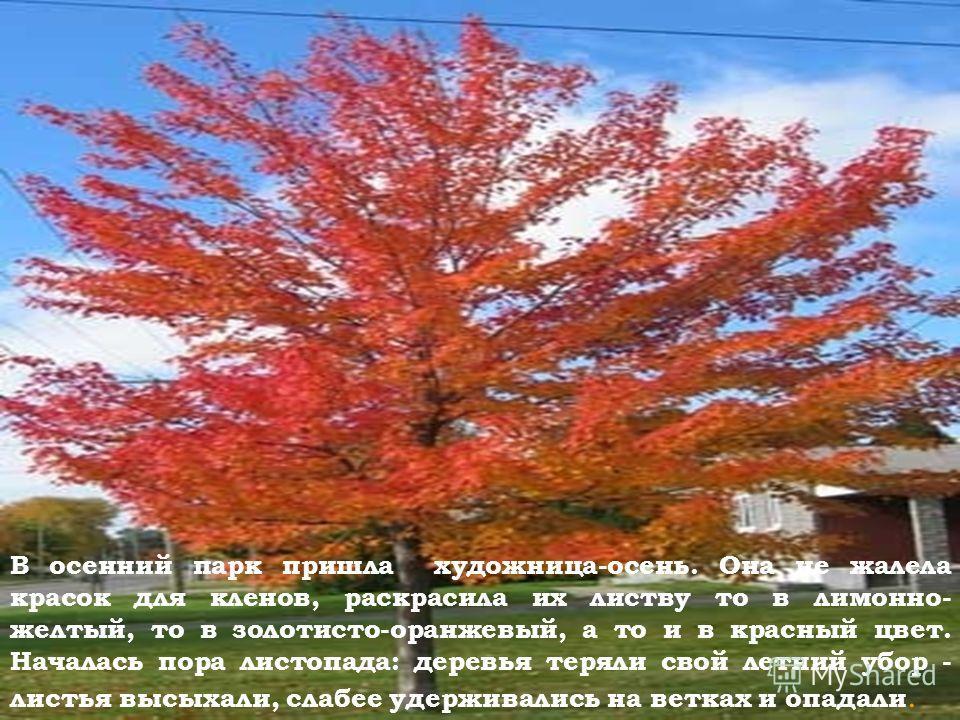 В осенний парк пришла художница-осень. Она не жалела красок для кленов, раскрасила их листву то в лимонно- желтый, то в золотисто-оранжевый, а то и в красный цвет. Началась пора листопада: деревья теряли свой летний убор - листья высыхали, слабее уде