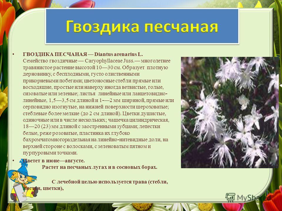 ГВОЗДИКА ПЕСЧАНАЯ Diantus arenarius L. Семейство гвоздичные Caryophyllaceae Juss. многолетнее травянистое растение высотой 1030 см. Образует плотную дерновинку, с бесплодными, густо олиственными прикорневыми побегами; цветоносные стебли прямые или во
