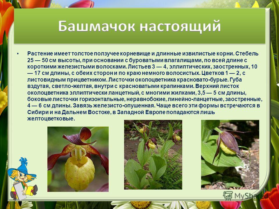 Растение имеет толстое ползучее корневище и длинные извилистые корни. Стебель 25 50 см высоты, при основании с буроватыми влагалищами, по всей длине с короткими железистыми волосками. Листьев 3 4, эллиптических, заостренных, 10 17 см длины, с обеих с