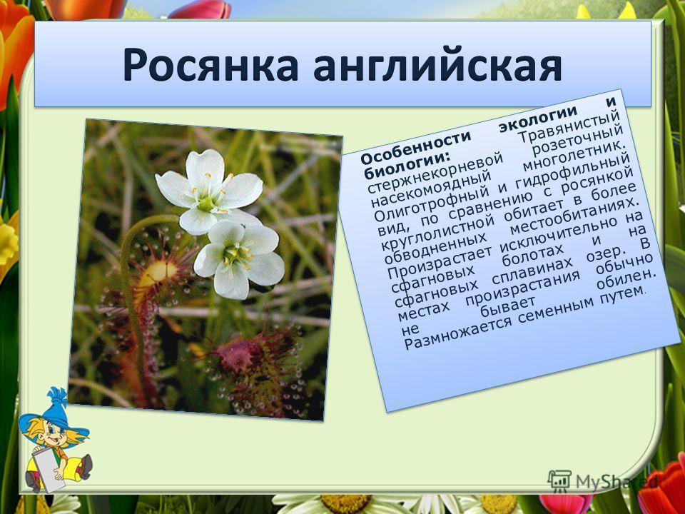 Особенности экологии и биологии: Травянистый стержнекорневой розеточный насекомоядный многолетник. Олиготрофный и гидрофильный вид, по сравнению с росянкой круглолистной обитает в более обводненных местообитаниях. Произрастает исключительно на сфагно