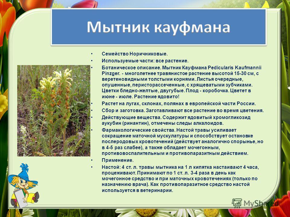 Семейство Норичниковые. Используемые части: все растение. Ботаническое описание. Мытник Кауфмана Pedicularis Kaufmannii Pinzger. - многолетнее травянистое растение высотой 15-30 см, с веретеновидными толстыми корнями. Листья очередные, опушенные, пер