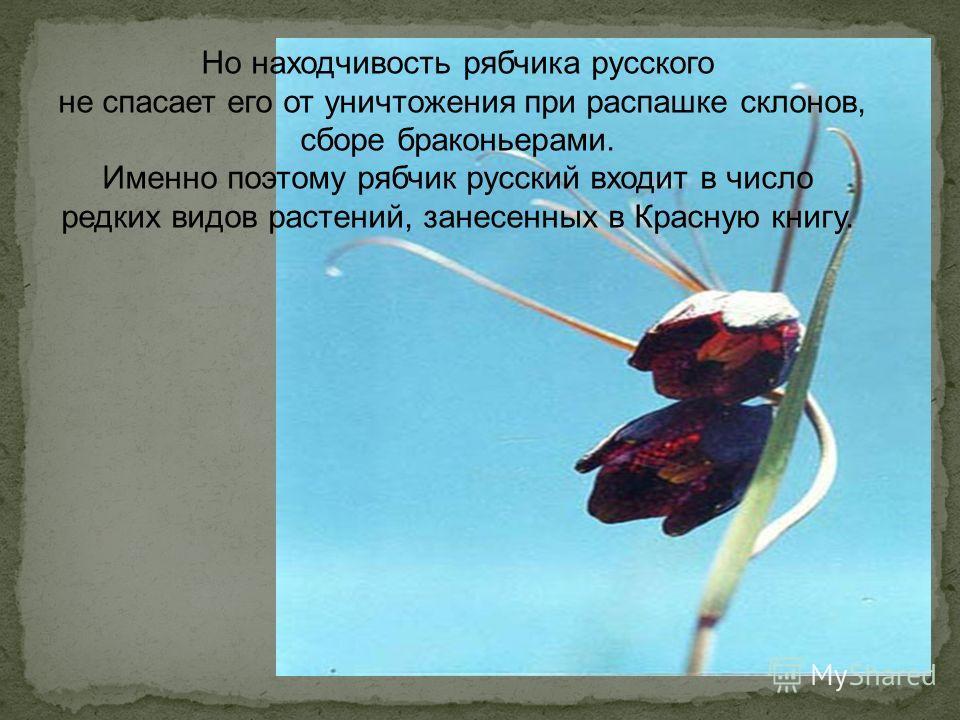 Но находчивость рябчика русского не спасает его от уничтожения при распашке склонов, сборе браконьерами. Именно поэтому рябчик русский входит в число редких видов растений, занесенных в Красную книгу.