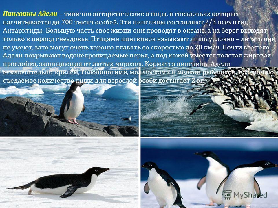 Пингвины Адели – типично антарктические птицы, в гнездовьях которых насчитывается до 700 тысяч особей. Эти пингвины составляют 2/3 всех птиц Антарктиды. Большую часть свое жизни они проводят в океане, а на берег выходят только в период гнездовья. Пти