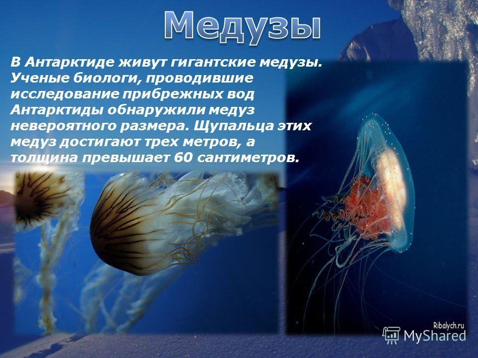 В Антарктиде живут гигантские медузы. Ученые биологи, проводившие исследование прибрежных вод Антарктиды обнаружили медуз невероятного размера. Щупальца этих медуз достигают трех метров, а толщина превышает 60 сантиметров.