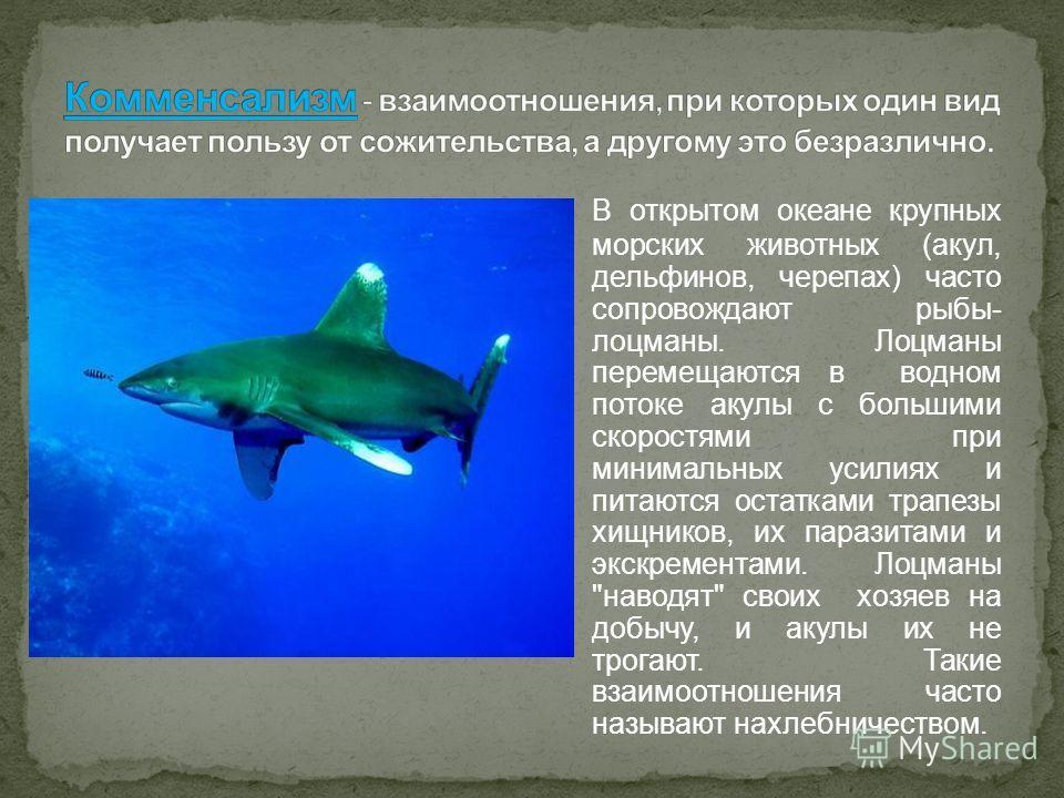 В открытом океане крупных морских животных (акул, дельфинов, черепах) часто сопровождают рыбы- лоцманы. Лоцманы перемещаются в водном потоке акулы с большими скоростями при минимальных усилиях и питаются остатками трапезы хищников, их паразитами и эк