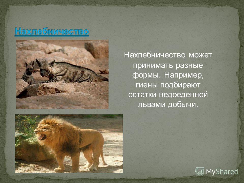 Нахлебничество может принимать разные формы. Например, гиены подбирают остатки недоеденной львами добычи.