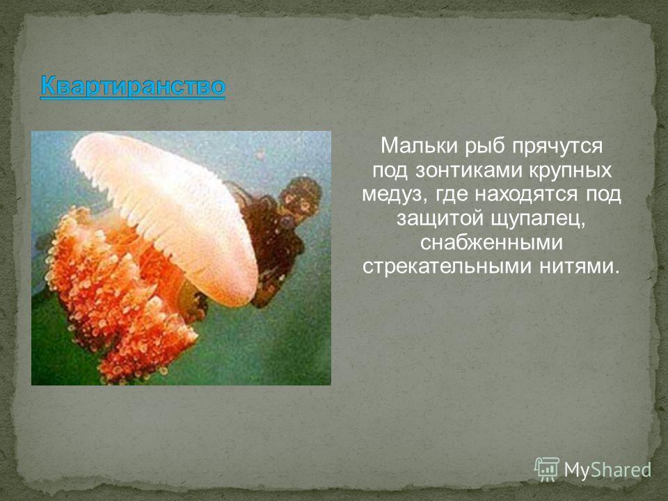 Мальки рыб прячутся под зонтиками крупных медуз, где находятся под защитой щупалец, снабженными стрекательными нитями.